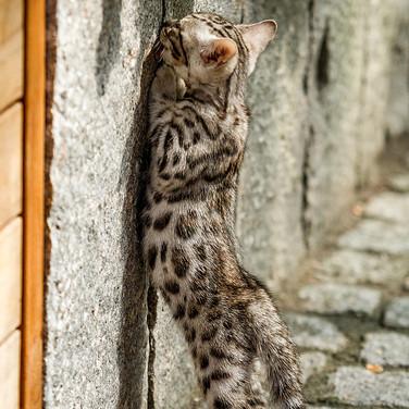 Forscher Kitten