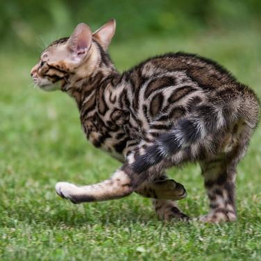 Kitten-Galopp