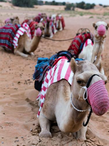 camels+Al+Maha+UAE.jpg