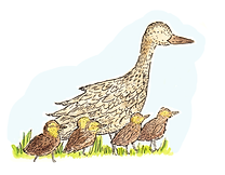 duck and ducklings.tif