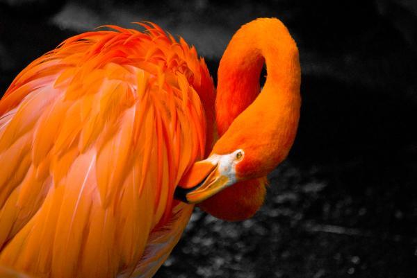 Pelicano anaranjado acicalándose las plumas del ala.