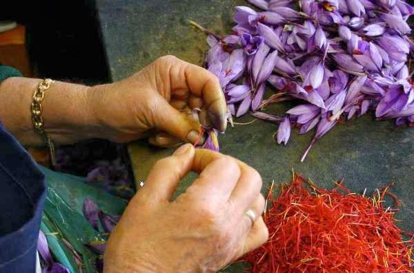 Mujer retirando los pistilos de la flor de azafrán