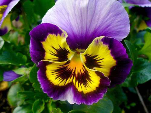 flor orquídea amarilla y violeta