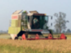 Raccolta del riso Cacina Guastalla
