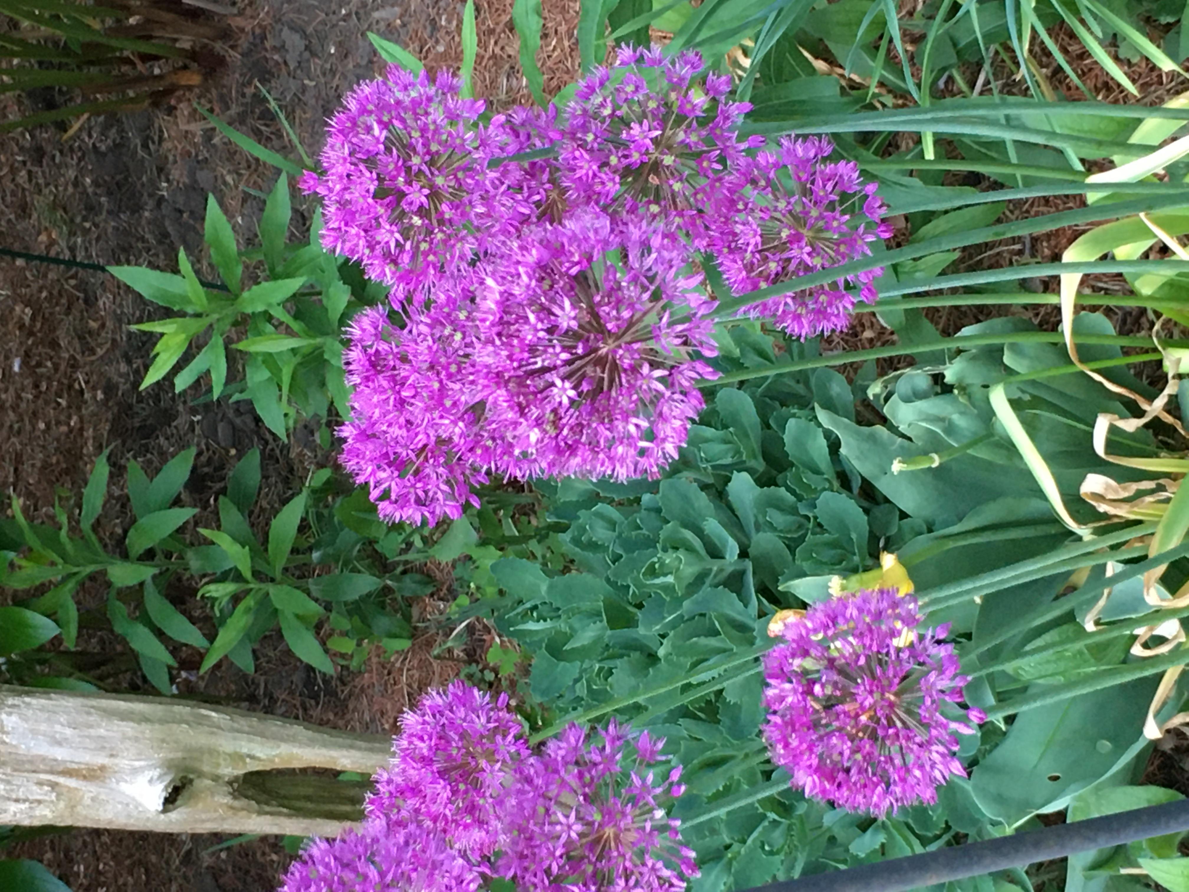 Magenta Alliums