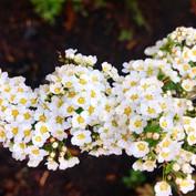 Spirea aprunifolia