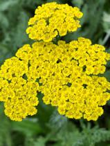 Achillea  millefolium 'Sunny Seduction'