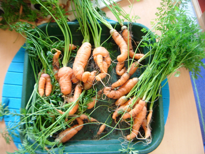 carrots from the garden