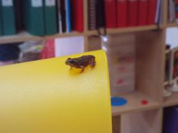 Froglet escapes