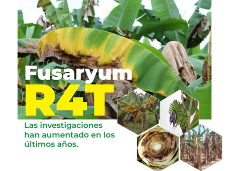 Fusarium R4T, Las investigaciones han aumentado en los últimos años.
