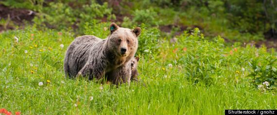r-WILD-BEAR-large570.jpg