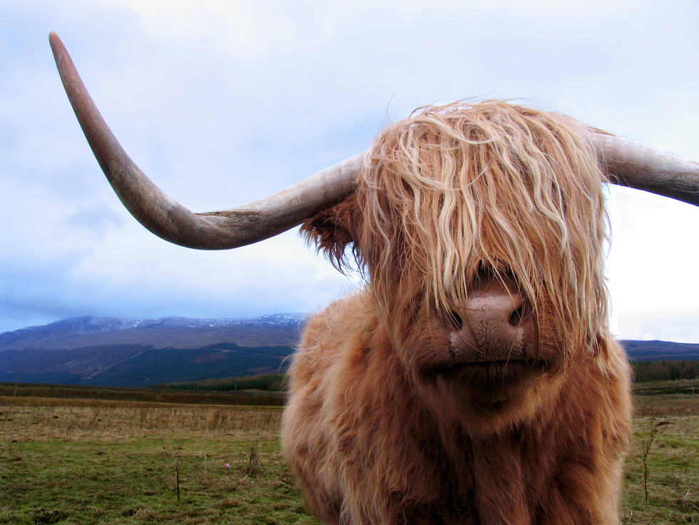 Non happy coo.png