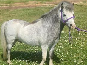 Gunsmoke - Mini Pony