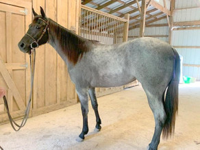 Kate - Blue Roan Filly