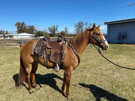 High Bar Tee 2016 Gelding w/VIDEO