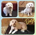Daisy ❤️🐶 x #doggroom #doggrooming #doggroomer #dog #groom #grooming #greenfieldsgroomingparlour #l