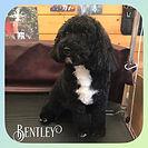 Bentley 🐶❤️ x #poochon #dog #doggroom #doggroomer #doggrooming #groom #groomer #grooming