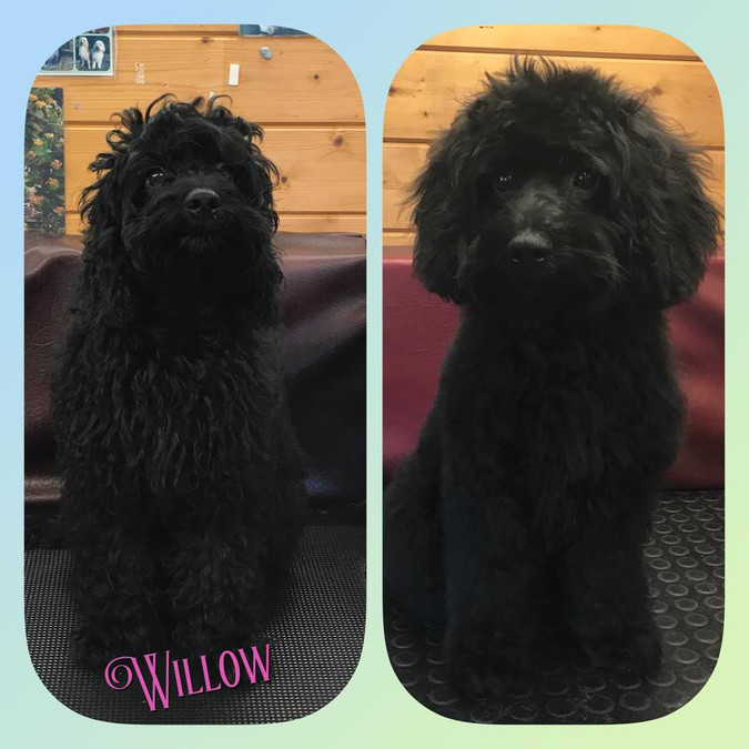 Willow (puppy)