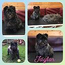 Taylor had her #handstrip today 🐶❤️ x #cairnterrier #doggroom #doggroomer #doggrooming #groom #dog