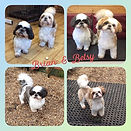 Brian & Betsy 🐶❤️ x #shihtzu #doggroom #doggrooming #doggroomer #dog #groom #grooming #greenfieldsg