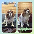 Milo 🐶❤x #cavalierkingcharlesspaniel #kingcharlescavalier #doggroomer #doggrooming #dog #greenfield