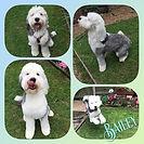 10 month old Bailey 🐶❤️ x #oldenglishsheepdog #puppy #oldenglish #doggroom #doggroomer #doggrooming