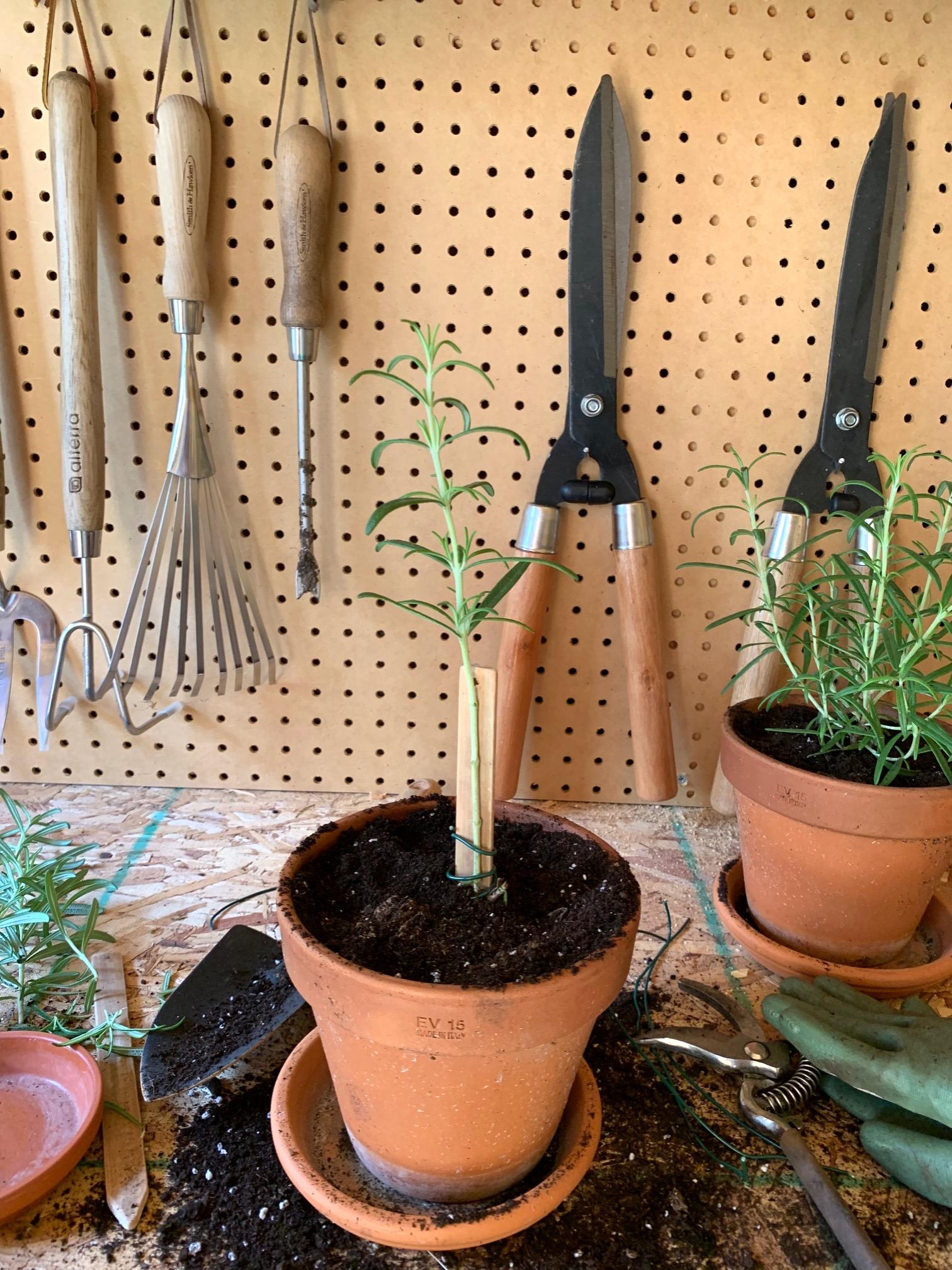 Diy Rosemary Topiary