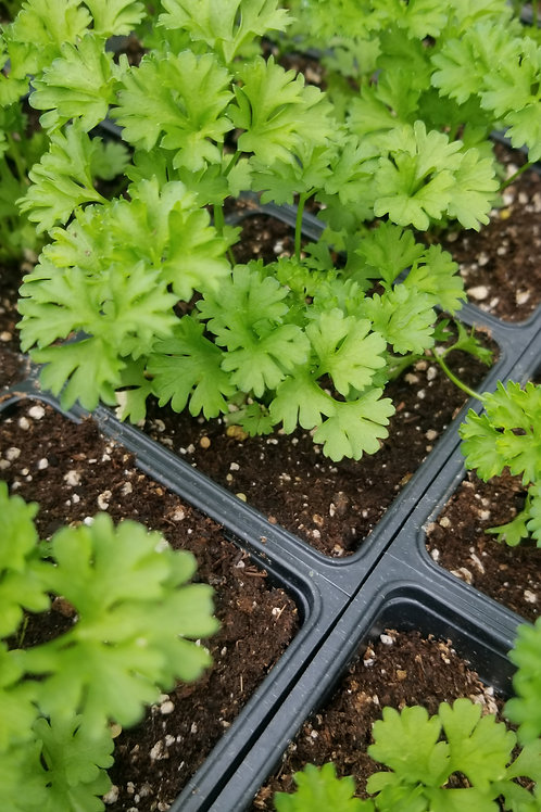 """Curly Parsley   4"""" Pot"""