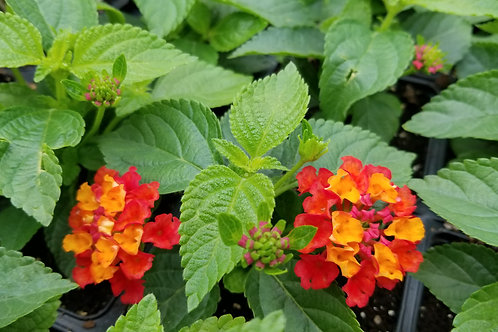 "Red & Gold Lantana   4"" Pot"