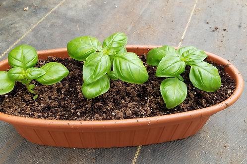Med. Oblong Basil Planter