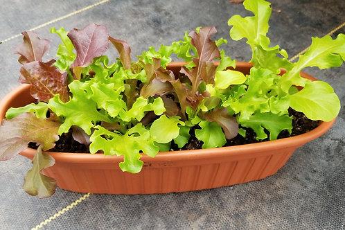 Med. Oblong Lettuce Mix Planter