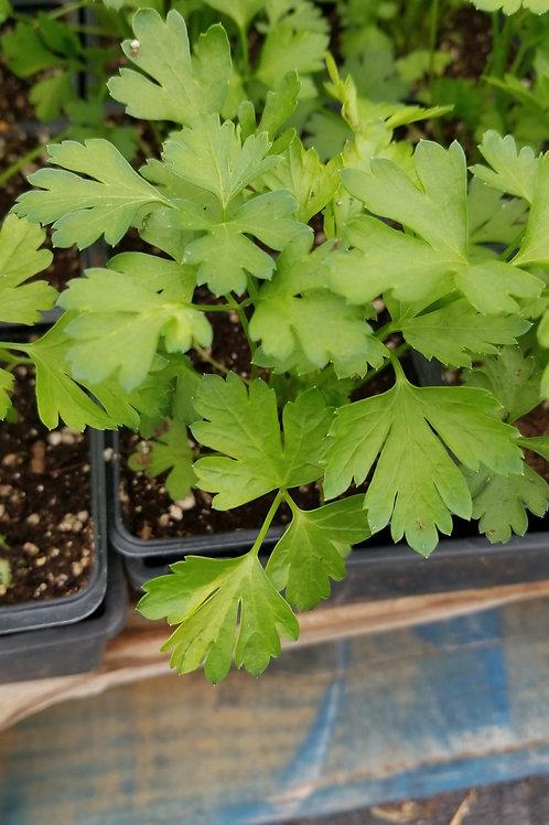 """Flat Leaf Parsley   4"""" Pot"""