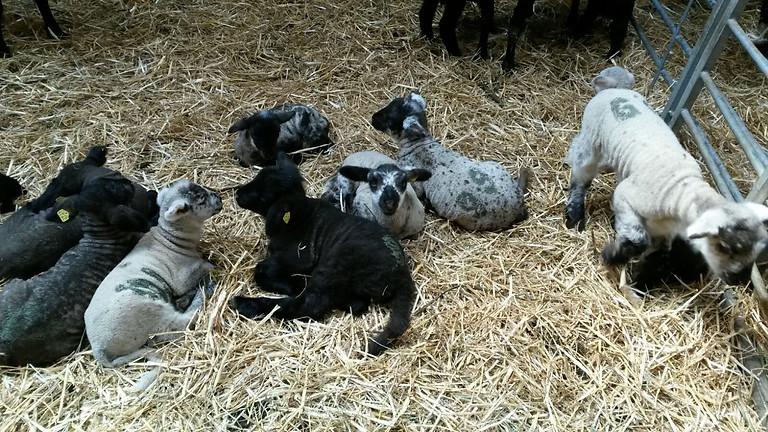 En avril, babysitte un agneau