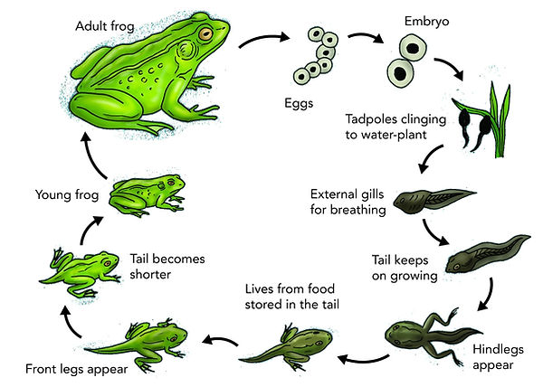 life-cycle-of-a-frog.jpg