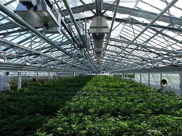Cannabis Greenhouse.jpg