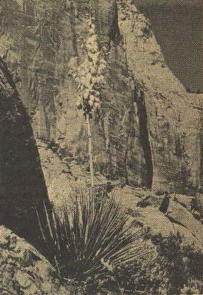 Yucca8.jpg