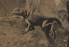 CollaredLizard10.jpg