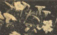 Datura8.jpg