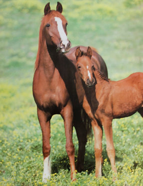 Mare & her foal looking Poster small