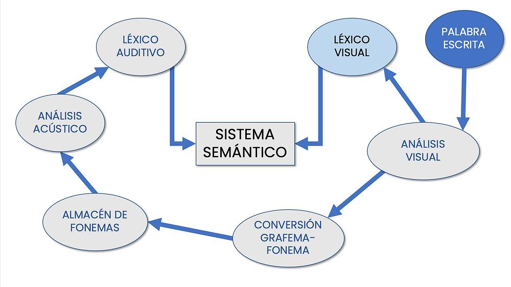Figura 1. Lectura por ruta fonológica o acceso fonólogico, basado en el modelo de Ellis y Young (1992).