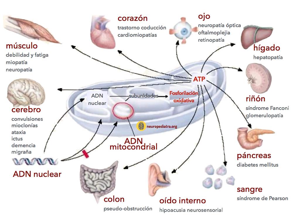 Fuente: neuropediatra.org
