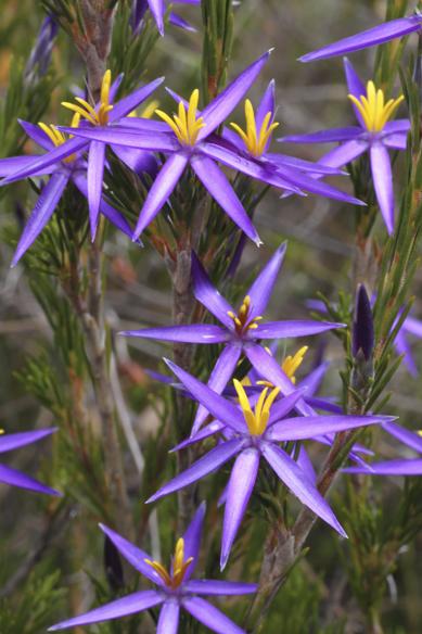 Tinsel lily - Calectasia intermedia