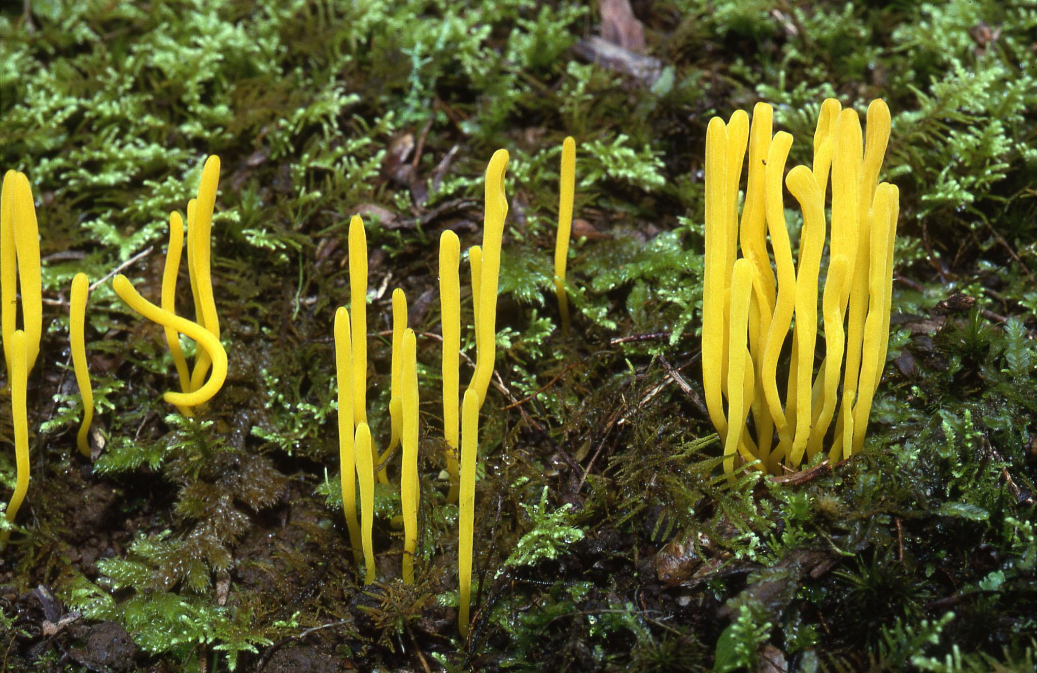 Coral fungi - Clavaria amoena