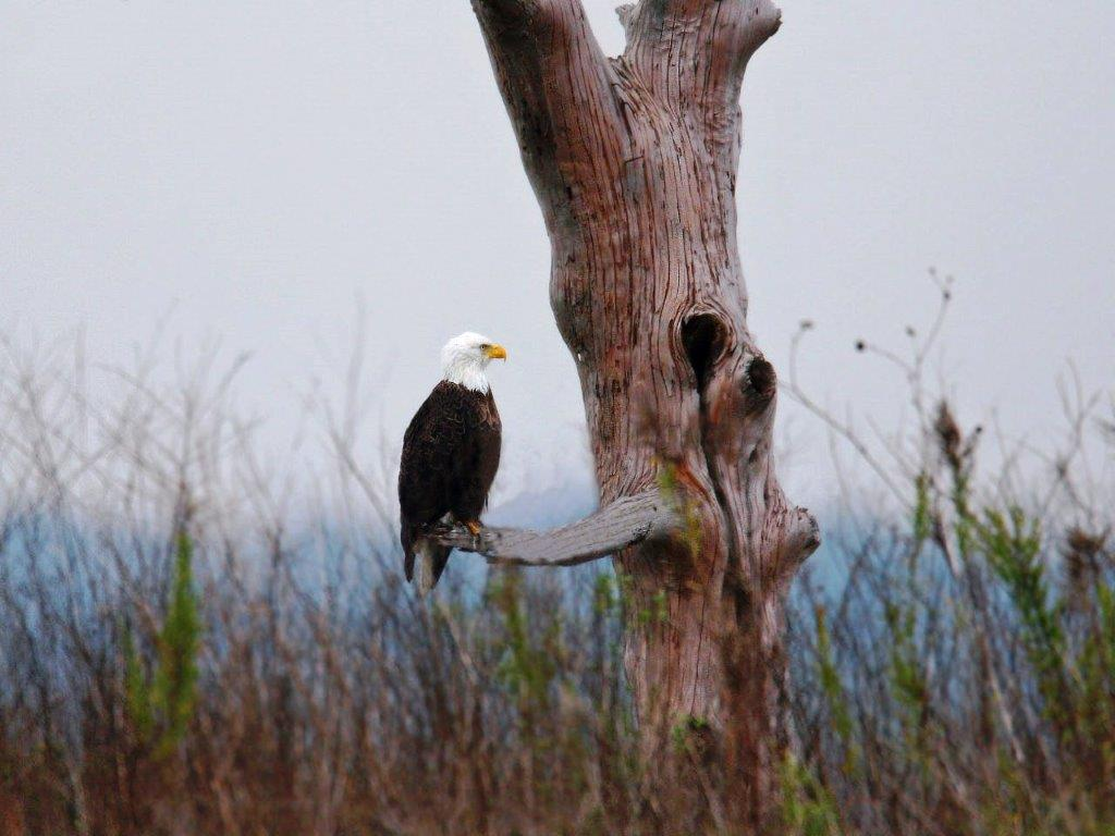 Bald Eagle at the Nature Center