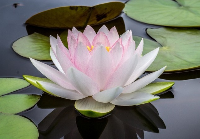 water-lotus-flower-lily-pad_edited