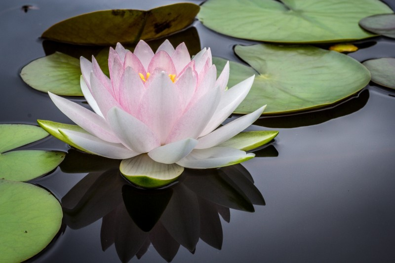 water-lotus-flower-lily-pad