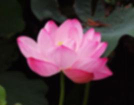 lotus-flower-pink-lotus.jpg