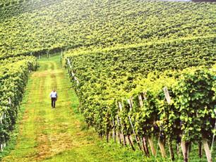 Get to know Slovenian wine - Posavje region, Dolenjska wine district