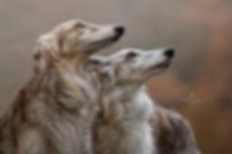 studio fotografie, hond, whippet, sighthound, Nuelle Flipse, Nuelle Flipse photography, fotografie, hondenfotografie, fotografie workshop