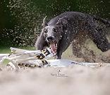 studio fotografie, hond, whippet, sighthound, Nuelle Flipse, Nuelle Flipse photography, fotografie, hondenfotografie, reviews